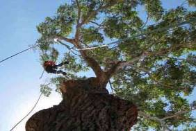 100ft Eucalyptus Removal